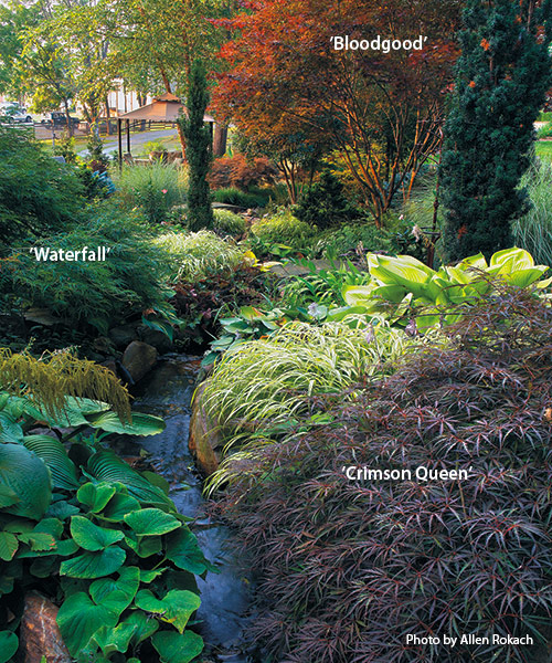 designing-with-japanese-maples-combine-with-other-plants: The bright red foliage of 'Bloodgood' Japanese maple at the end of a winding creek or a path draws the eye up and opens your view to more of the garden.