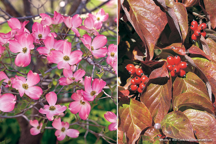 6-plants-birds-love-Flowering-Dogwood: Flowering dogwood's flowers are actually the button-like cluster at the center, which mature to red fruits in late summer.