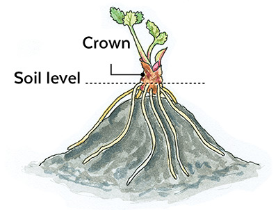 How-to-start-a-strawberry-patch-bare-root-planting: Set the crown of bare-root strawberry plants at soil level.
