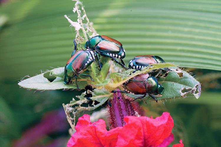 damaging-insects-to-your-garden-japanese-beetles: Metallic green Japanese beetles feed on a wide range of garden plants, especially beans, basil, raspberries, grapes, hollyhocks and roses.