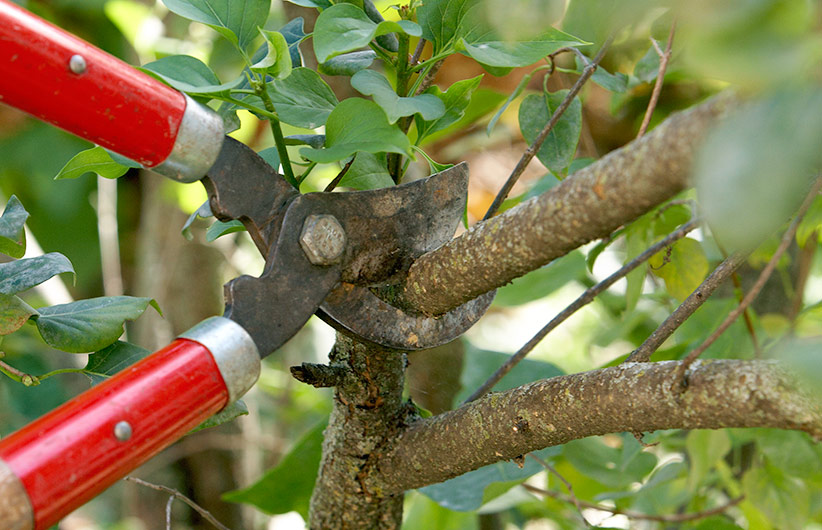Guide-to-pruning-shrubs-loppers: Loppers are great for cutting through branches ½ in. to 1½ in. thick.