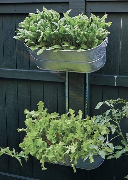 Lettuce, spinach, arugula and cilantro are the perfect plants to grow in small galvanized tubs:Greens like lettuce, spinach, arugula and cilantro are the perfect plants to grow in small galvanized tubs hung on the fence.