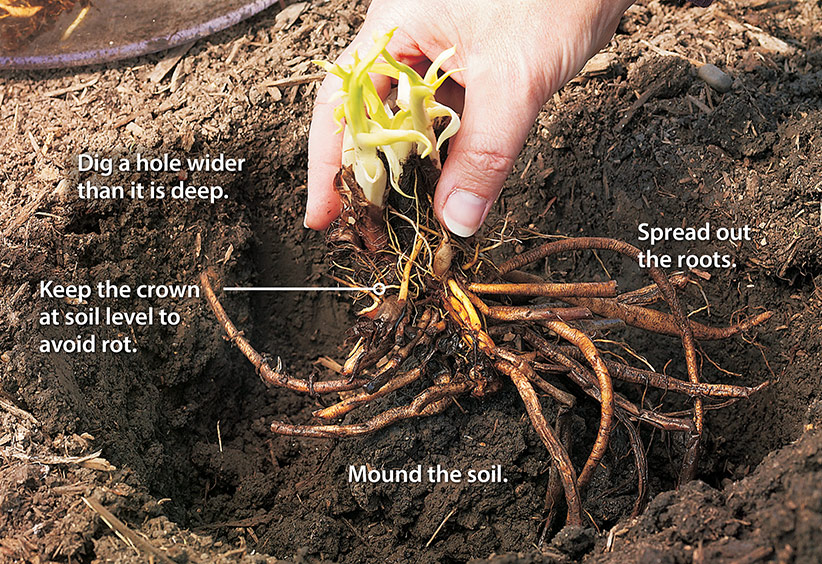 How To Plant Bare Root Perennials Garden Gate
