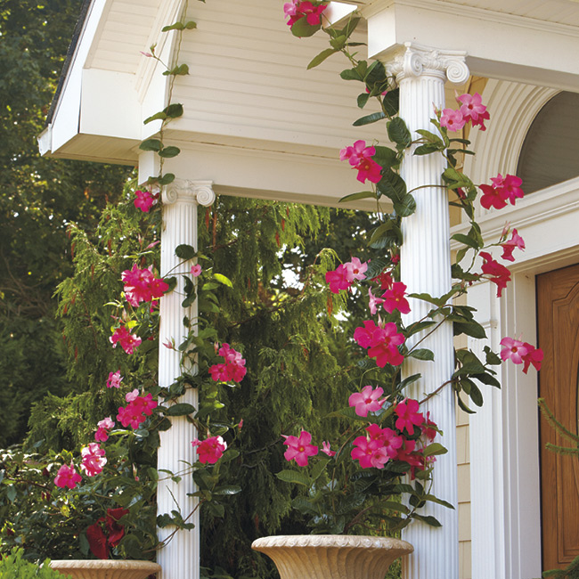mandevilla pillars: With a mature height of 15 to 20 feet, 'Alice du Pont' has the size to make an impression.