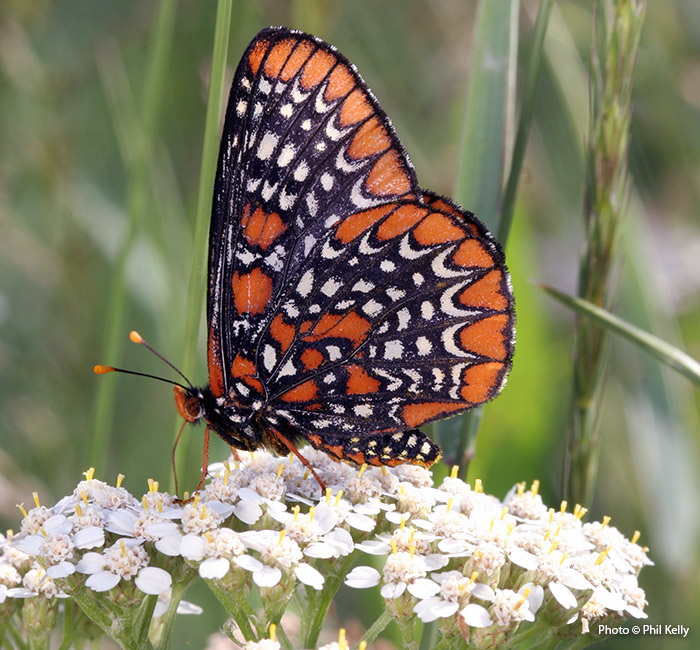 Baltimore checkerspot butterfly on yarrow Photo Copyright Phil Kelly: Butterflies, like this Baltimore checkerspot, love flat-topped flowers like yarrow.