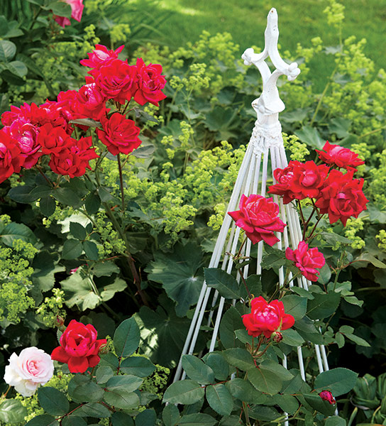di-effectively-use-red-in-garden-Rose: Red roses are a classic use of red in the garden.
