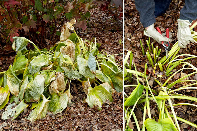 Dead hosta leaves in fall: Avoid smothering spring growth by removing large hosta leaves in fall.
