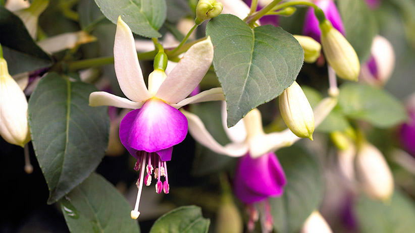 Best-hanging-basket-plants-fuschia-pvR: Fuschia flowers make a beautiful addition to hanging baskets.
