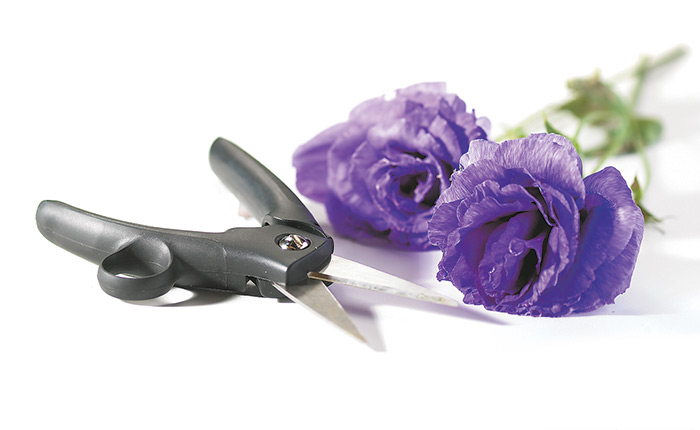 how-to-grow-lisianthus-cut-flower-tips
