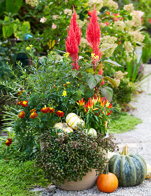 Fall flower pot with celosia, ornamental peppers, marigolds and pumpkins: Ornamental peppers are safe to eat but they are normally grown for their colors rather than their flavor.