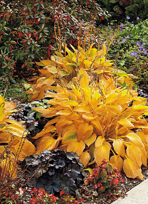 striking-fall-combo-lead: This 'Patriot' hosta is one that reliably changes color in fall.
