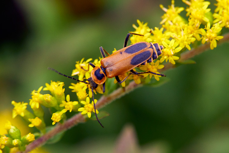 beneficial-garden-insects-soldier-beetle: Soldier beetles are especially active in late summer, when the goldenrod is blooming.