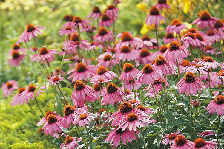 Purple coneflowers: Coneflowers are carefree plants that can withstand nearly anything that Mother Nature can throw at them, including bitter cold winters and hot, dry summers.