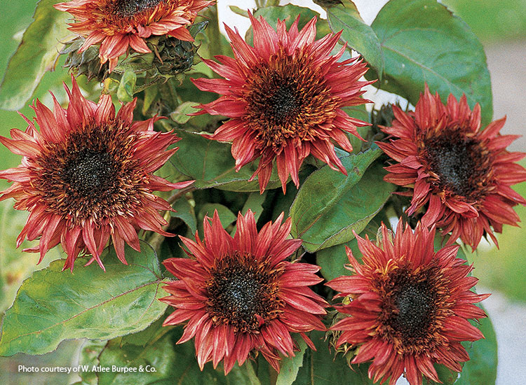 7-sunflower-varieties-for-your-garden-Double-Dandy
