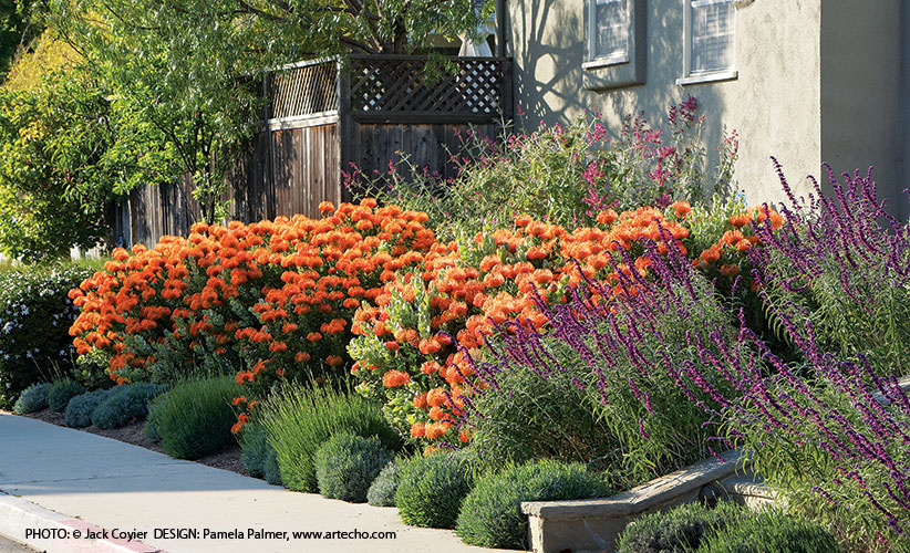 Orange-plants-for-your-garden-border: Orange pincushion flowers bring visual excitement and energy to what could have been a more predictable border planting.
