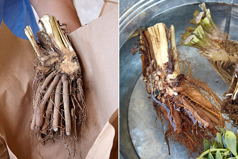 how-to-plant-bareroot-daylilies-soaking: Most daylilies that are ordered will arrive in bareroot form like you see above left. To rehydrate the roots, you may need to soak before planting like you see on the right right.