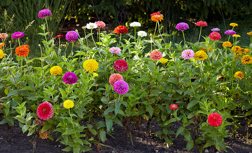Design-a-garden-to-attract-pollinators-power-in-numbers: Pollinators will love this mass planting of zinnias.
