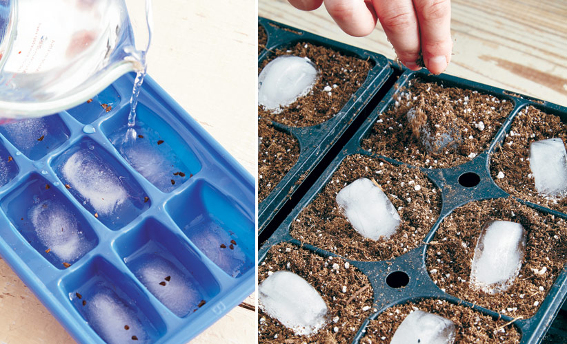 how-to-prechill-seeds-ice-cubemethod: Start the ice cube method with a frozen half cube to keep seed, like these delphinium, in the middle of the ice after you add water and refreeze. Sprinkled soil on top sticks to the ice, which covers the seed as it melts.