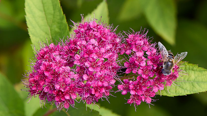closeup of bee on double play red spirea: Double Play® Red spirea attracts pollinators.