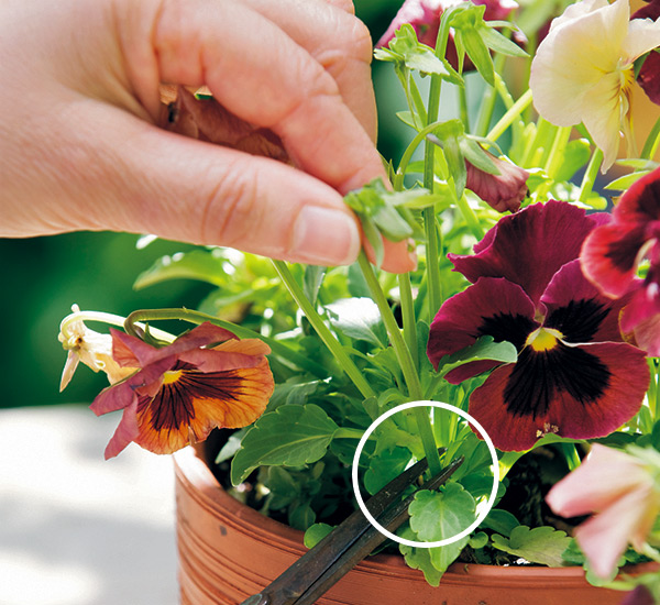 how-to-deadhead-pansies: To deadhead pansies, grab the spent bloom between two fingers and follow the stem down to where it connects with the leaves and snip it off.