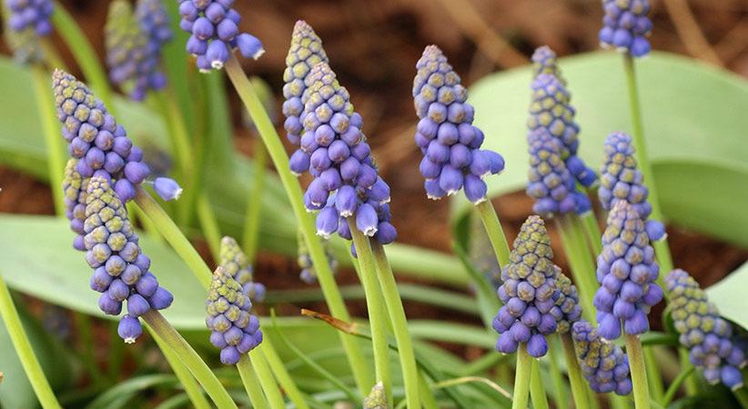 How To Divide Grape Hyacinths Garden Gate