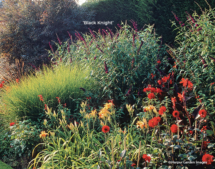 'Black Knight' butterfly bush in a garden border: Bridge the space between tall trees and perennial borders with 8-ft.-tall 'Black Knight' butterfly bush.