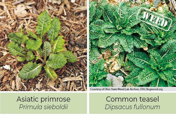 Identifying-weeds--Asiatic-primrose-or-Common-teasel: Asiatic primrose has smooth spines while common teasel has spines.
