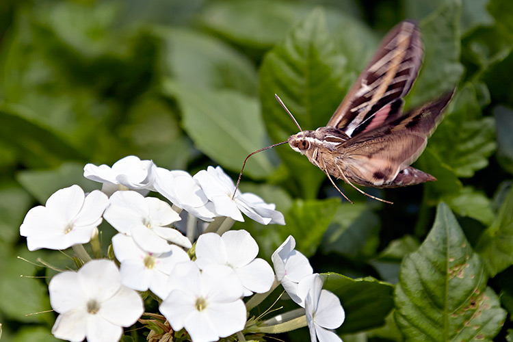 types-of-pollinators-moth: This white-lined sphinx moth helps pollinate because its wings pick up pollen from the flowers as it feeds.