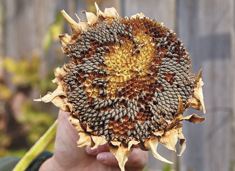 Sunflower seedhead in fall: Birds have already picked off many of the black sunflower seeds before I could get to them.