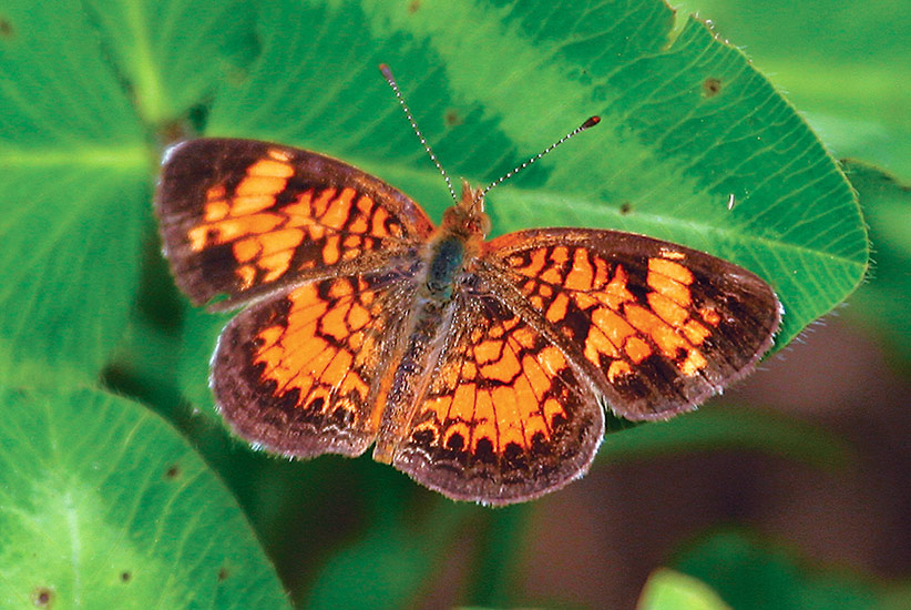 Common-backyard-butterflies-Pearl-crescent-Phyciodes-tharos