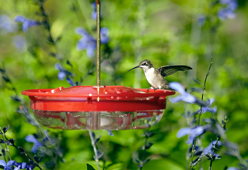 hummingbird-feeder-basin-styleR: Place hummingbird feeders out in the open where birds can see them.