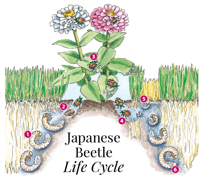 Japanese beetle life cycle illustration by Carlie Hamilton: Illustrated Japanese beetle life cycle by Carlie Hamilton.