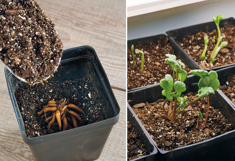 how-to-grow-ranunculus-planting: Plant ranunculus tubers so the stem piece faces up, and the tubers curl down. Soaked tubers tend to sprout faster — in just a week or two.