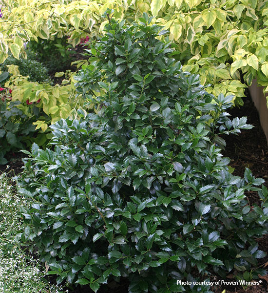 Foundation-plants-by-shape-Castle-spire-holly-pyramial: Castle Spire holly leads your eye up with its narrow top.