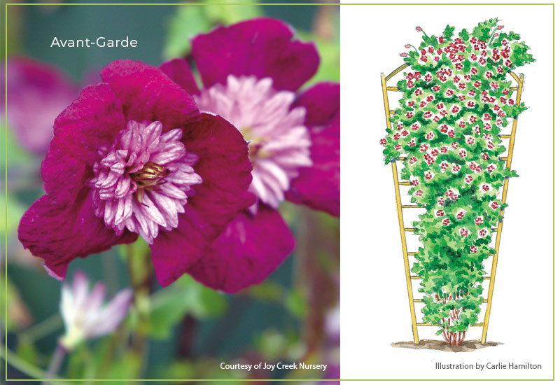 Avant-Garde-clematis-with-illustration: The early summer blooms of Avant-Garde clematis are a stunning velvet-red with pink pompon center.