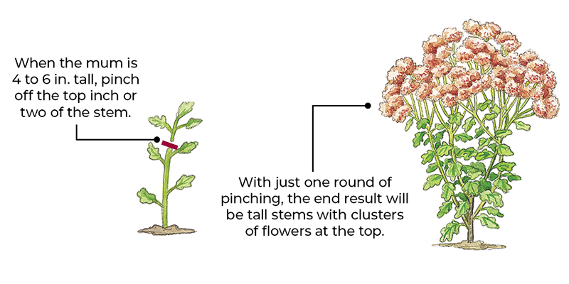 How to pinch mums for more flowers illustration by Carlie Hamilton: Pinching the growing tip of your mums early in the season will result in more blooms.