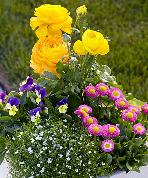 Spring container with ranunculus and pansy: Group several small plants close together to get this full look right away!