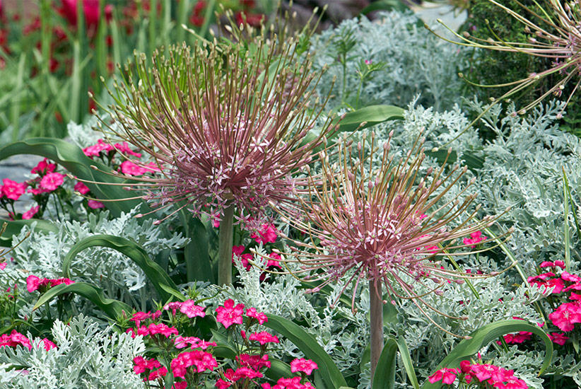 Alliums schubertii