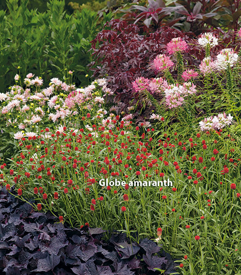di-effectively-use-red-in-garden-Amaranth: Red globe amaranth add the perfect pop of red in this garden border.