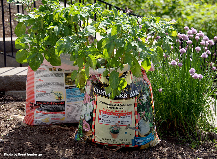 how-to-grow-potatoes-in-potting-soil-bag: Be sure to poke holes in the bottom of the bag for drainage.