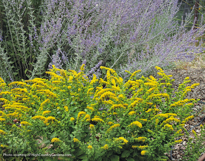 Designing-with-goldenrod-Golden-Fleece-goldenrod: 'Golden Fleece' see here is one of the shortest goldenrods, growing just 1 to 2 ft. tall and wide.