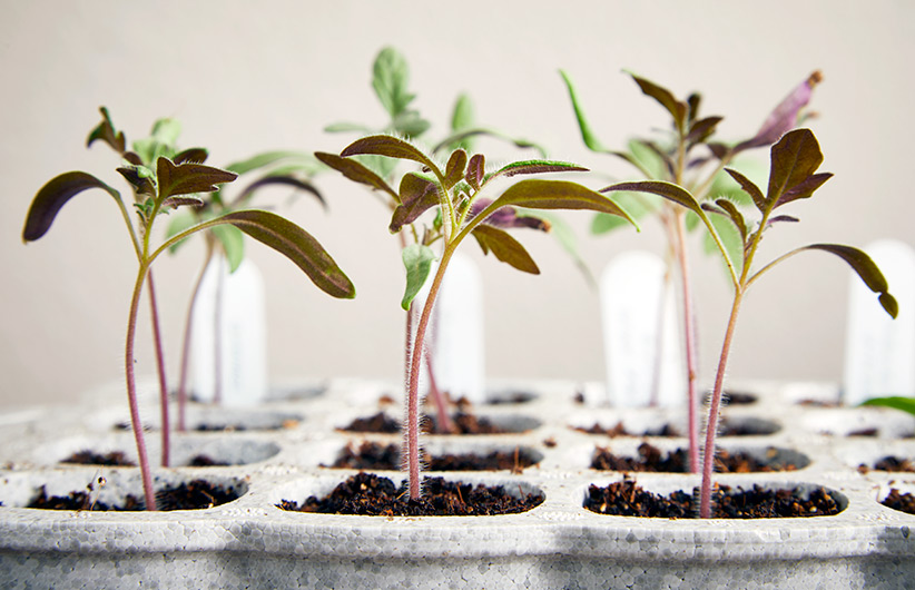 Seedlings in a growing tray: Starting your own seeds is a great way to grow exactly what you want for your garden.