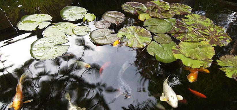 Look out for these plants toxic to fish | Garden Gate