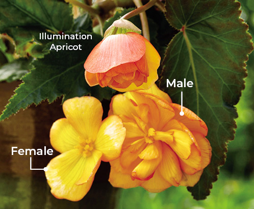 Male-and-female-flowers-on-tuberous-begonia: If you'd like bigger double flowers and more of them, pinch off  the female buds as they form beside each male flower.