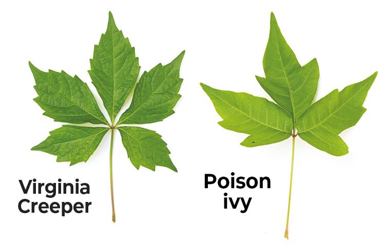 Poison-Ivy-lookalikes-Virginia-creeper-vs-poison-ivy