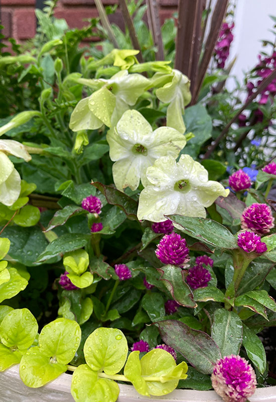 NICOTIANAWR: Flowering tobacco is a cottage garden classic and the pale chartreuse flowers add a pop of playfulness.