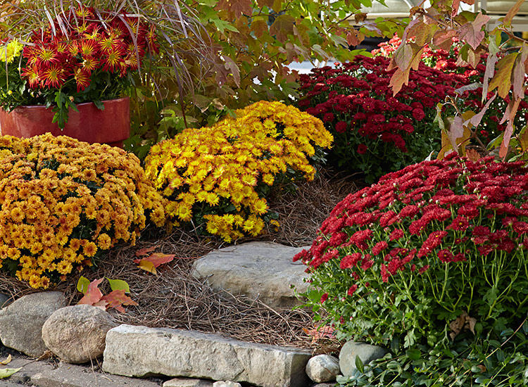 Different colored mums in a garden bed: Try adding different colors of mums in your garden beds and borders.