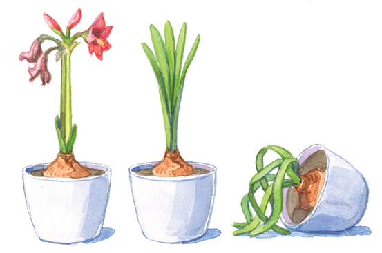 fp-help-your-amaryllis-bloom-twice quiet time: After your amaryllis has stopped blooming, you will force it into dormancy so it can rebloom again later in the year.