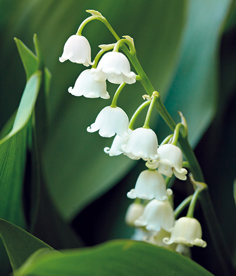 fp-pg-clay-soil-reccomendations-LilyoftheValley: Lily of the valley