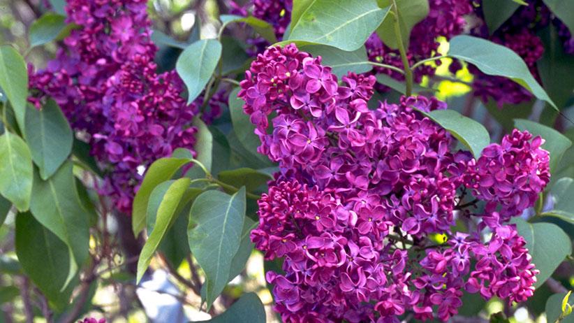 10 Fragrant Flowers For Your Garden Garden Gate